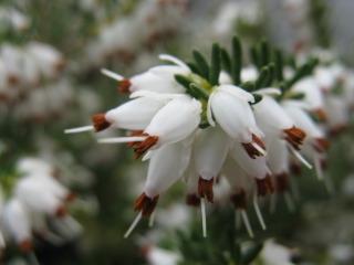Erica arborea - Fleurs