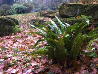 Fougère scolopendre dans une rocaille humide