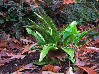 Fougère scolopendre ou langue de cerf, Asplenium scolopendrium