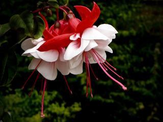 Fuchsia hybride à fleurs doubles