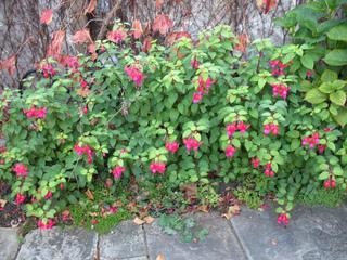 Fuchsias plantés le long d'un mur