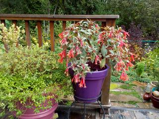 Fuchsia triphylla 'Firecracker'