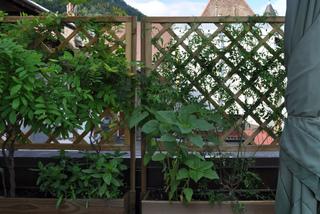 Plantes grimpantes sur une terrasse en ville