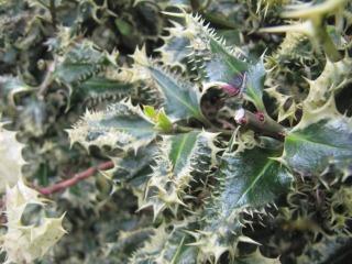 Houx panaché (Ilex aquifolium 'Ferox Argentea')