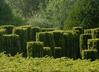 Ifs taillés (Taxus) - Jardins de Séricourt