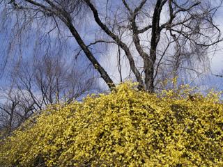 Jasmin d'hiver en fleurs