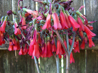 Kalanchoe daigremontiana en fleurs
