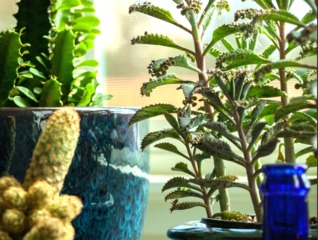 Kalanchoe daigremontiana en pot