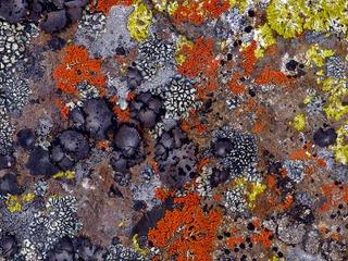Différentes espèces de lichens sur un rocher