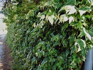 Lierre panaché couvrant une clôture
