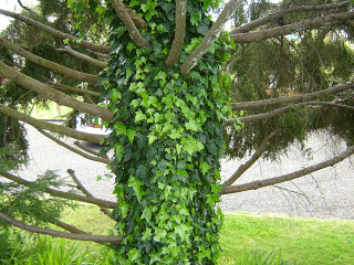Lierre courant sur un tronc d'arbre