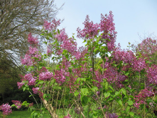 Lilas en fleur (Syringa vulgaris)