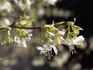 Chèvrefeuille d'hiver - lonicera fragrantissima
