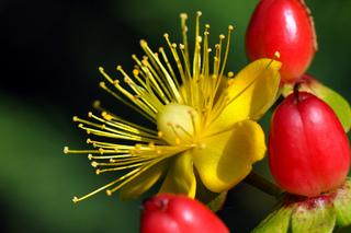 Millepertuis : fleur et baies