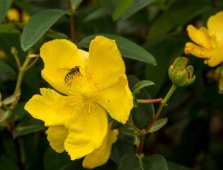 Fleur de millepertuis (Hypericum)