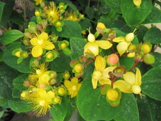 Millepertuis - Hypericum inodorum