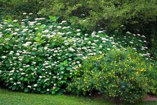 Hypericum kalmianum et Hydrangea arborescens