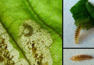 Mineuse : larve et dégâts sur une feuille