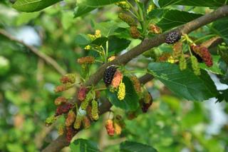 Fruits de mûrier noir (Morus nigra)