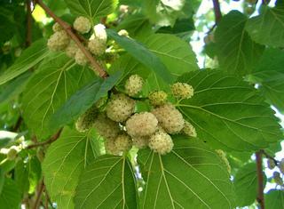 Fruits du mûrier blanc (Morus alba)