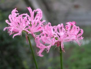 Nérine - Nerine undulata