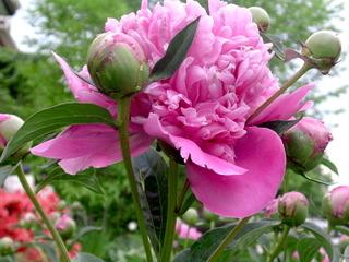 Fleur de jardin : sovada.md