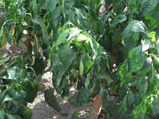 Plants de poivron ayant besoin d'un arrosage