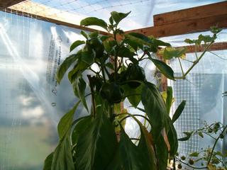 Poivron cultivé sous abri