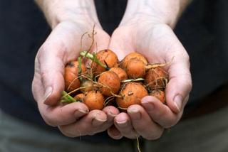 Récolte de jeunes carottes