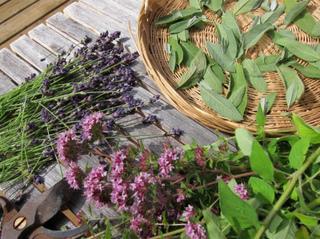 Récolte d'aromatiques à faire sécher