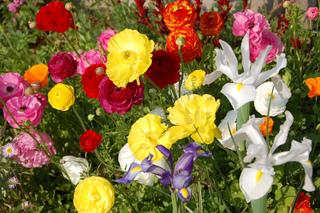Renoncules et iris
