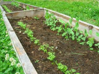 Semis de carottes et pois