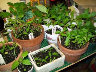 Semis de poivrons (plants à la mi-avril)