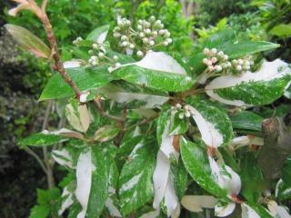 Stranvaesia ou Photinia davidiana 'Palette'