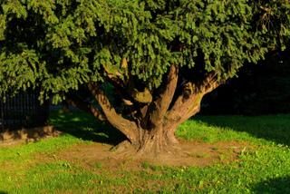 Vieil if (Taxus baccata)