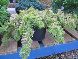 Taxus baccata (If) 'Repens Aurea'
