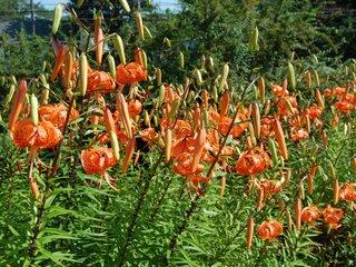 Touffe de lis martagon orange