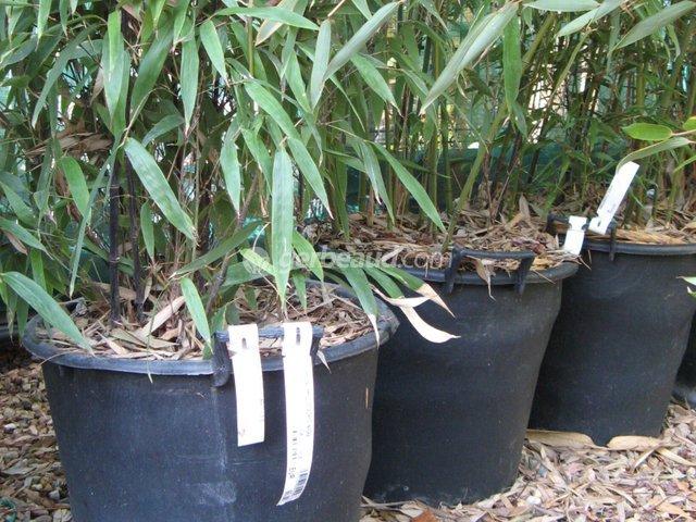 bambou en bac beautiful la plantation du bambou en pot. Black Bedroom Furniture Sets. Home Design Ideas