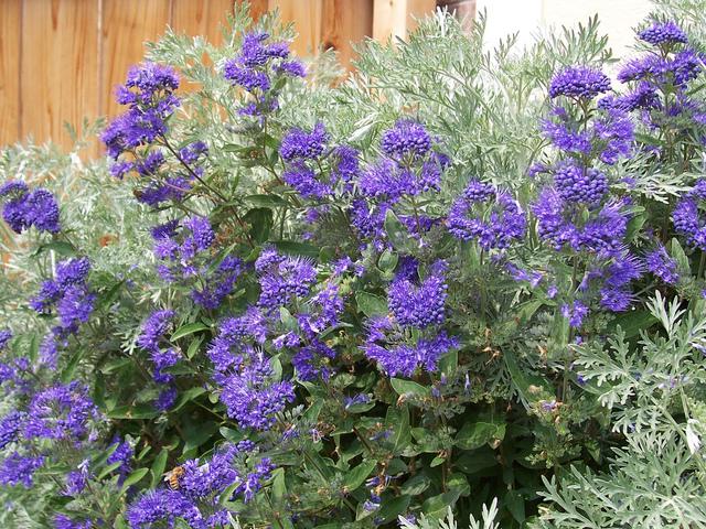 Caryoptéris : une floraison bleue indispensable