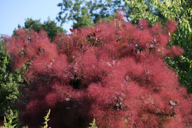 Cotinus, cultivez l'arbre aux perruques