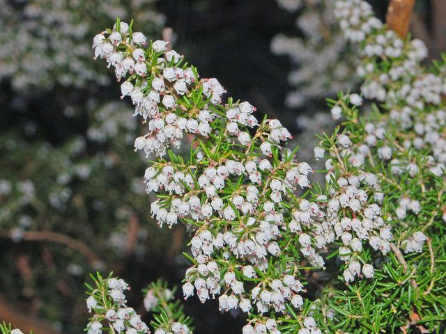 erica arborea, ou bruyère blanche : plantation, entretien, taille