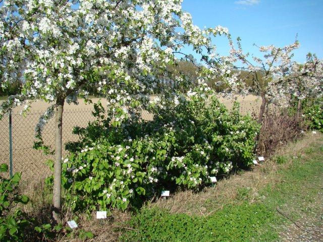planter une haie de fruits choix des arbres et arbustes fruitiers plantation. Black Bedroom Furniture Sets. Home Design Ideas
