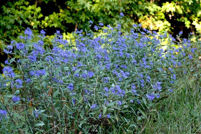 arbustes qui fleurissent en bleu pendant l 39 t. Black Bedroom Furniture Sets. Home Design Ideas
