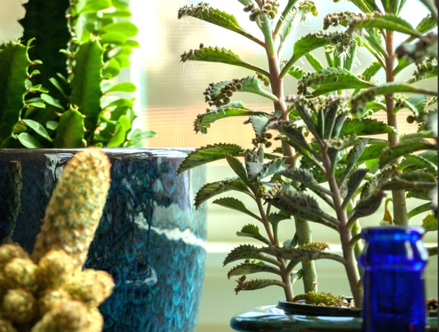 plante succulente espces perfect luespace cactus with plante succulente espces gallery of. Black Bedroom Furniture Sets. Home Design Ideas