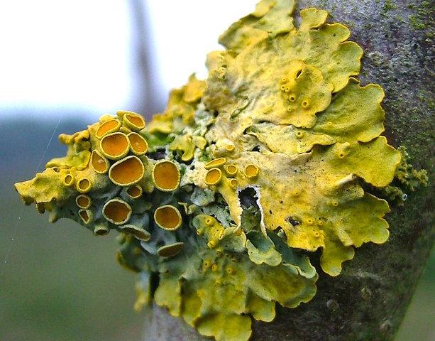 Lichen sulfureux