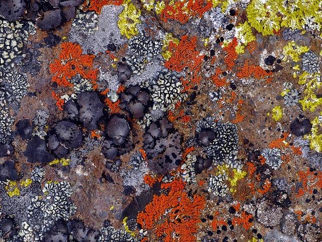 Lichens ou papier peint ? (Mousses et lichens)