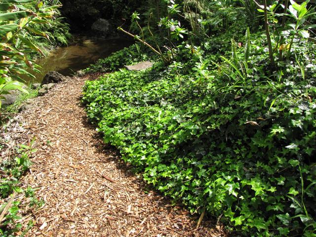 Comment se d barrasser du lierre dans le jardin courroie - Comment se debarrasser du lierre ...