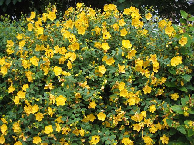 Millepertuis choix plantation et conseils de culture for Plante arbustive fleurie