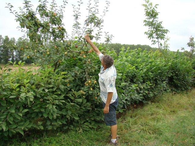 Planter une haie de fruits choix des arbres et arbustes fruitiers plantation for Comarbuste fruitier en pot