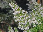 Bruyère blanche, bruyère arborescente